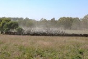 A mob of about 350 cattle in health green pasture of David Marsh's farm at Boorowa.