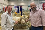 Two sheep and wool producers with the sheep at the Royal Easter Show
