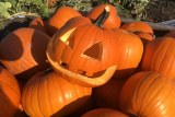 A close up of an orange halloween pumpkin with a carved face sits in on top of a crate of yellow pumpkins.