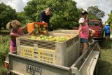 Kids sitting on the back of the trailer as a volunteer pours in extra mangoes.