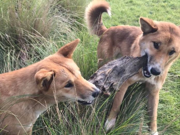 Two dingoes pull at either side of a piece of tree bark.