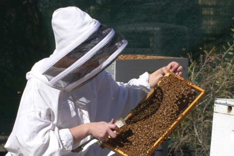A beekeeper wearing a protective suit tends to a hive full of honey bees.