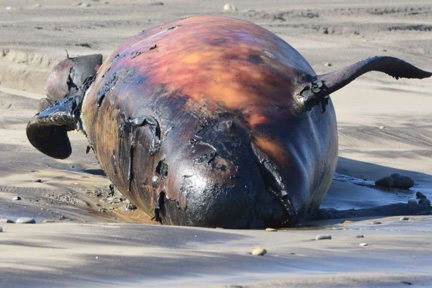Bloated, dead whale lying on sand