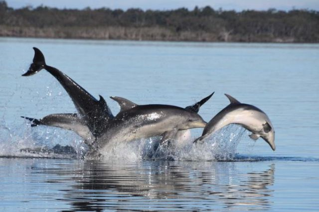 Pod of dolphins swim in lake