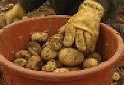 A brown tub of potatoes covered in dirt, with the gloved hand of a worker resting on the tub.