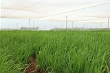 Dryland rice varieties are being trialled at the Katherine Research Farm