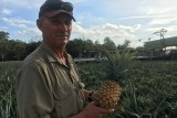 Sunshine Coast Pineapple grower Chris Fullerton