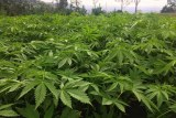 A trial field of cannabis growing in Queensland.