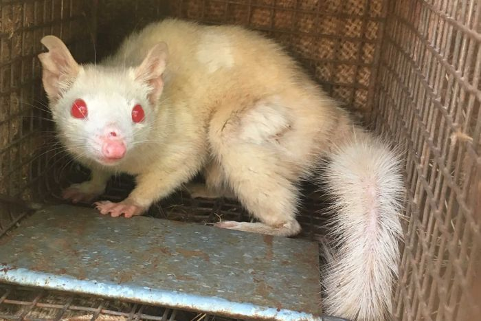 An albino quoll in a cage