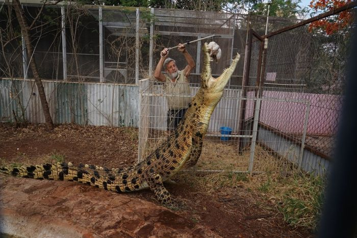 A man stands behind a metal fence as he holds a chicken over an enclosure while his large pet crocodile rises to snatch it.