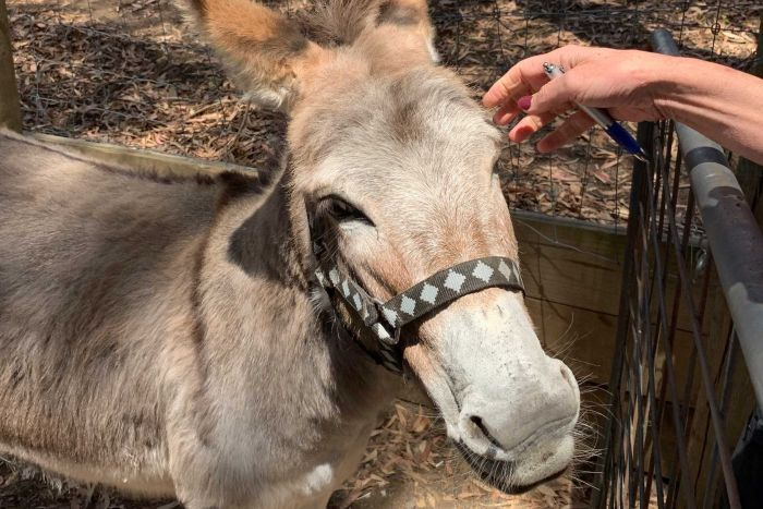 A donkey stands in its enclosure on an Adelaide Hills property
