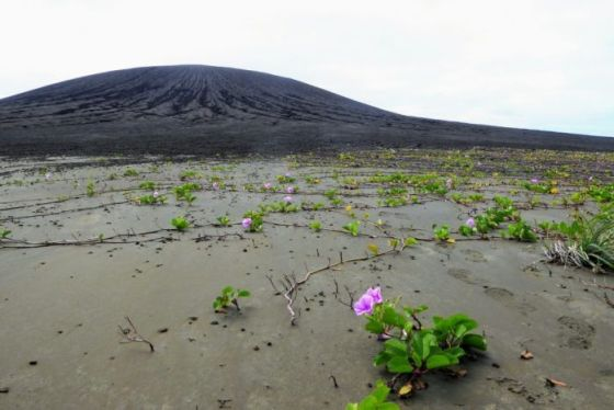 Green vine-like plants with pinky-purple flowers snaking over black sand with a volcanic cone in the background