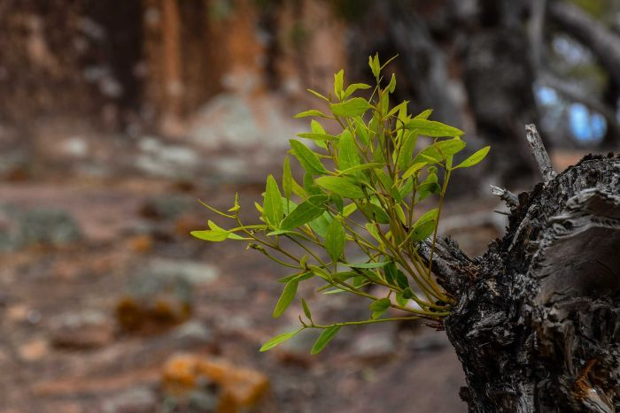 A small green plant sprouts out of a burnt tree branch