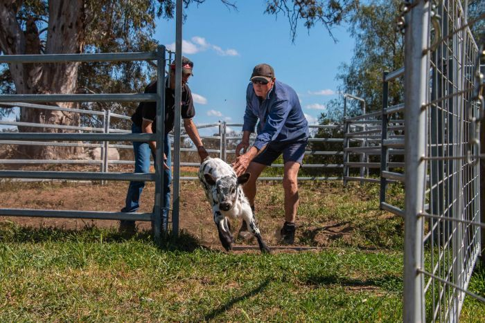 A man helps another farmer to herd a calf out of holding pens on his property in northern Victoria.