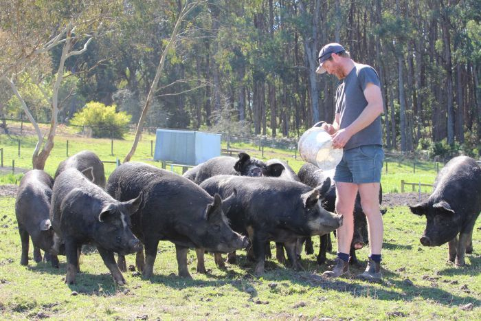 Man in shorts and boots feeds his beautiful black pigs.