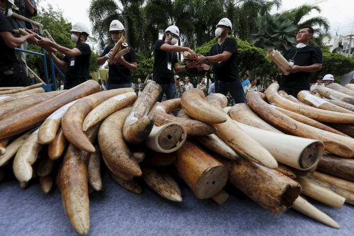 A huge pile of ivory tusks confiscated from poachers in Thailand