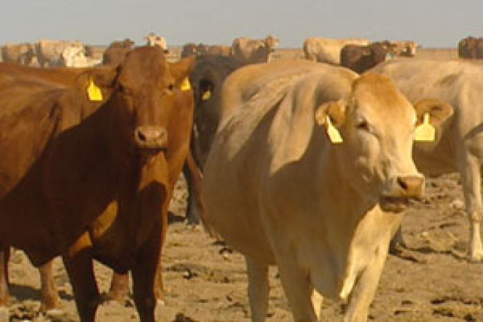 North Australian Pastoral Company cattle on Alexandria Station in the Northern Territory.