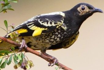 The critically endangered Regent Honeyeater.