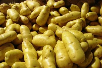 Freshly harvested Tasmanian potatoes