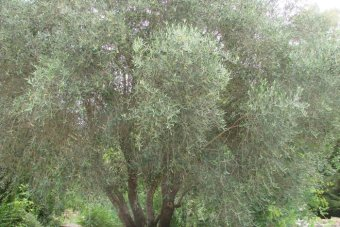 Thriving olive trees with roots to biblical times