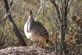 A large bird stands in an outback setting.