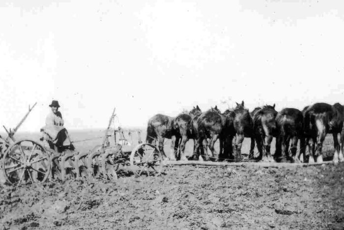 Tom White ploughing the fields with a horse-pulled plough, on his Western Australian soldier settlement block.