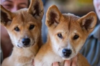 Dingoes at the Australian Reptile Park