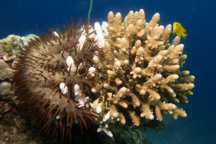 Spiky Crown of Thorns Starfish clings to a piece of white and brown coral