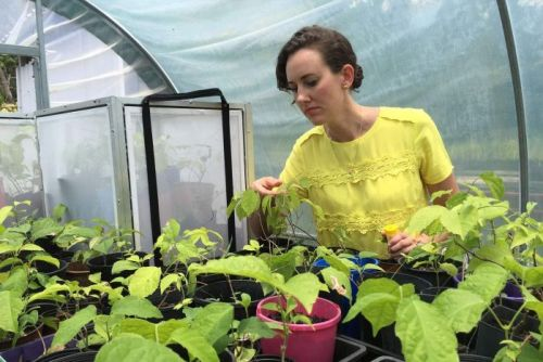 A woman in a yellow shirt examines leaves on a small plant inside a translucent plastic domed greenhouse.