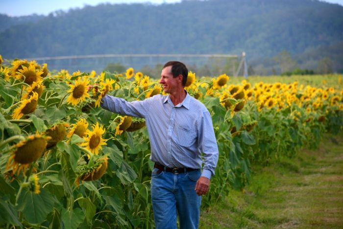 Cane grower Simon Mattsson with his first major sunflower crop on his cane property in Marian.
