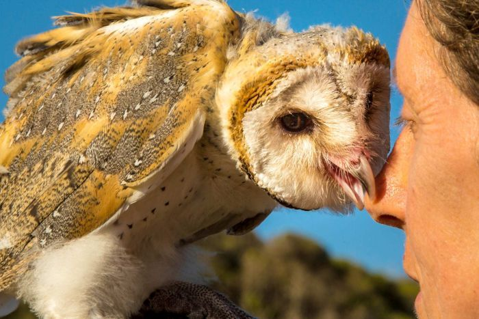 A barn owl uses its beak to gently grabs the nose of the woman who raised the bird.
