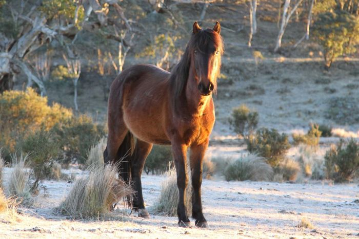 A Snowy Mountain brumby