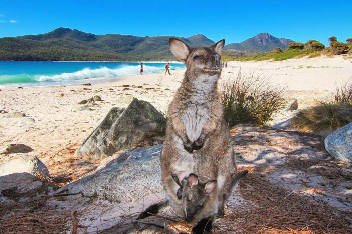 A wallaby with her joey on a beach at Wineglass Bay, Tasmania