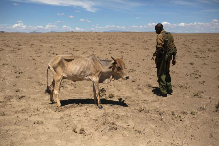 A Kenyan soldier looks at a cow which is dying from hunger.