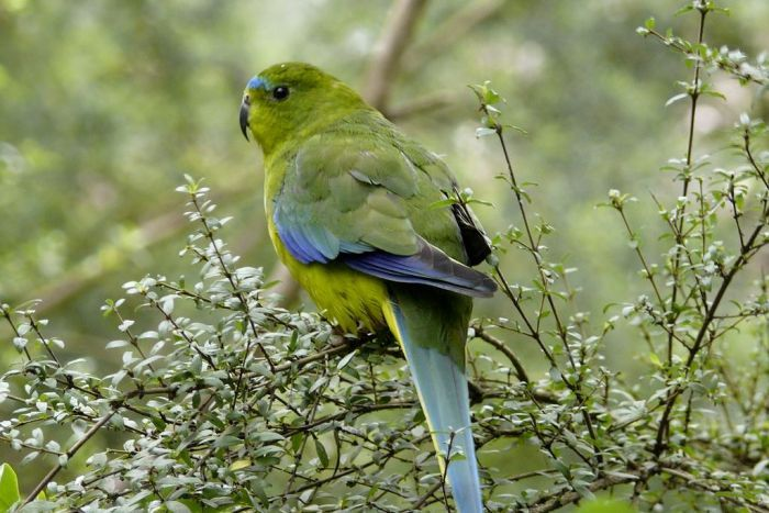 An orange bellied parrot, photographed by John Clarke