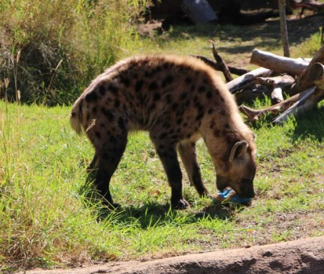 A Hyena Eats An Easter Egg At Perth Zoo