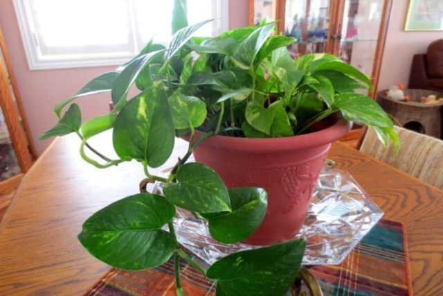 Devil's Ivy grows in a pot on a dining room table.