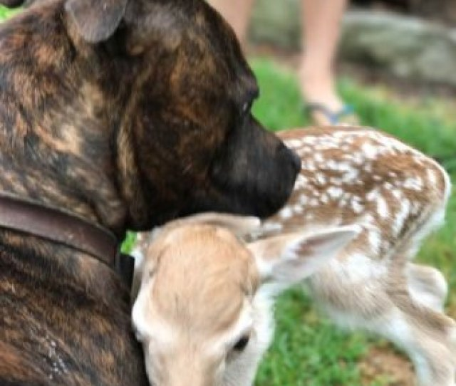 A Brown Dog Snuggles With A Baby Deer