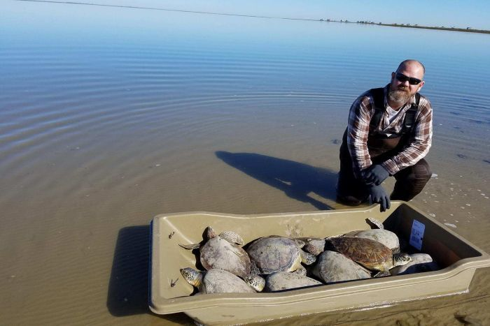 A man stands with a tub of eight rescued sea turtles.