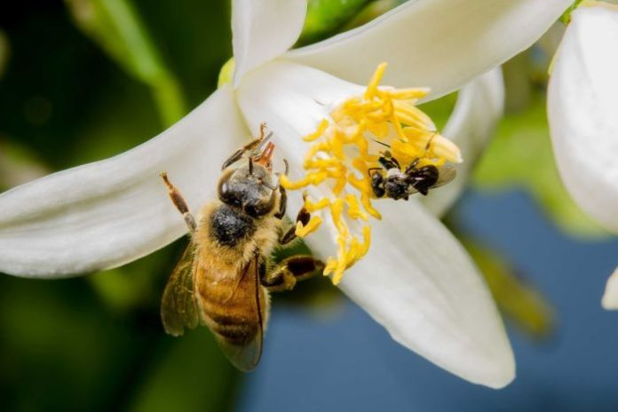 A larger honey bee rests on a white flower beside a small stingless bee.