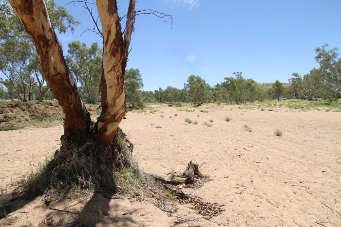 A tree in the dry Todd River in Alice Springs