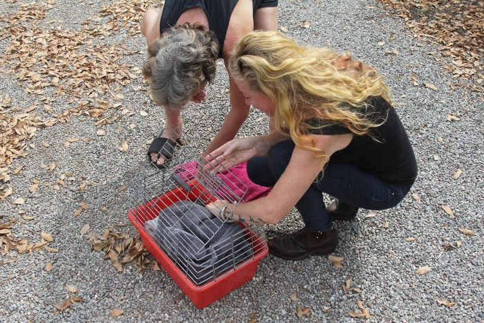 A view of Mandy Hall as she pets a possum inside a small cage.