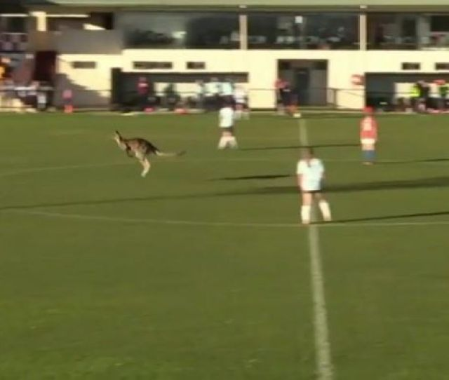 Rogue Kangaroo Interrupts Womens Premier League Match In Canberra Sport Abc News Australian Broadcasting Corporation