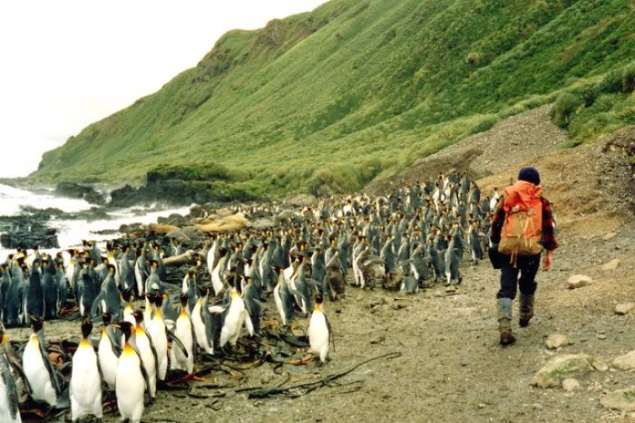 Hundreds of penguins at the shore with a man walking alongside them.