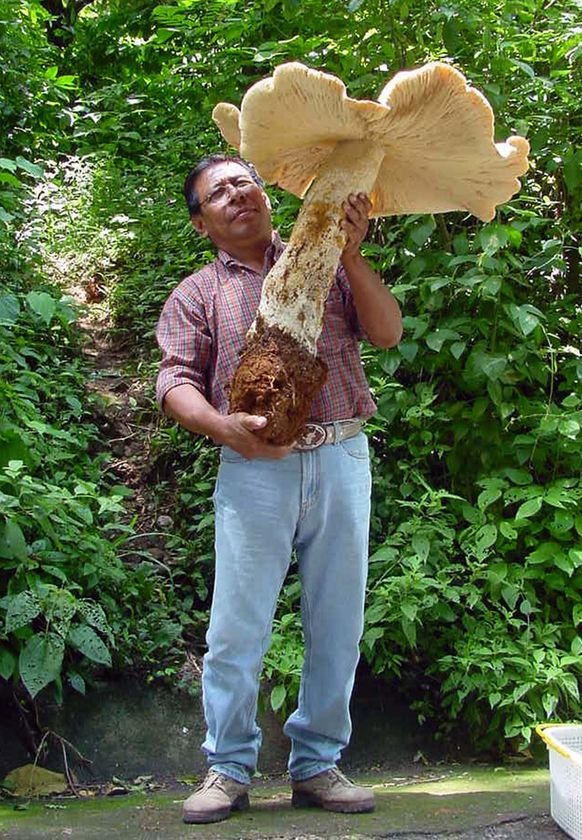 Mushrooms! Or one really big mushroom!