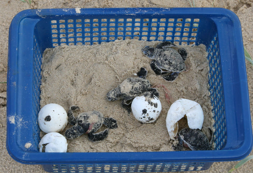 Oiled turtles from Queensland ready to be released (Courtesy ABC: Michelle Hill)