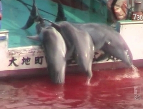 Japan's annual dolphin hunting season is about to begin. [ABC]