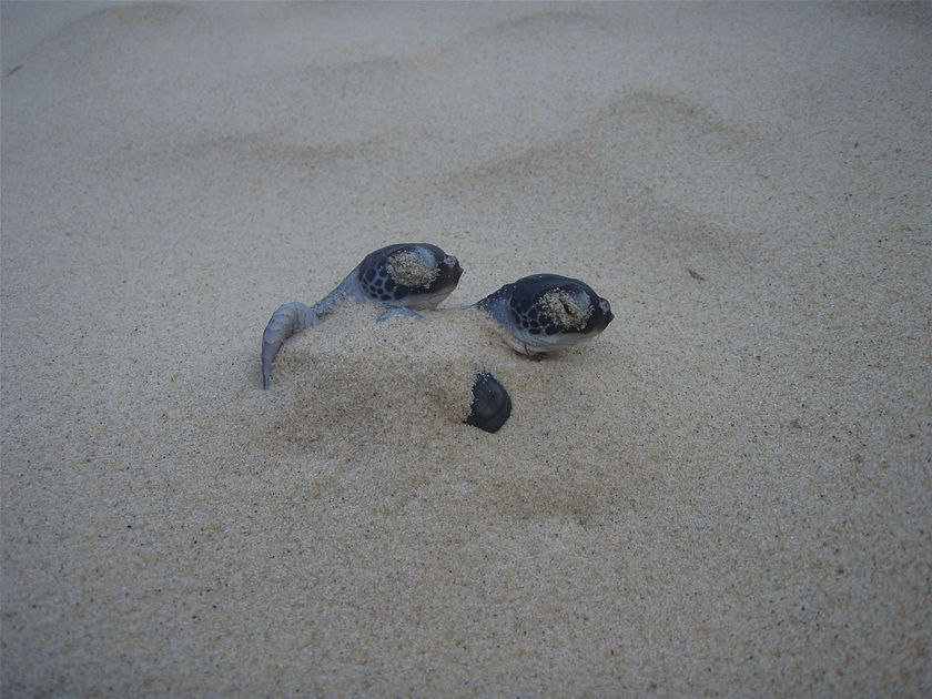Emerging from a sand dune into bright daylight, these green turtle hatchlings pause to wait for dusk before dashing across the beach to the ocean. (Susan Richards)