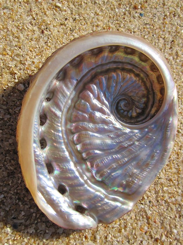 WINNER SECONDARY SCHOOLS: An abalone shell on Rottnest Island. It was almost perfect! (Claire Ormond)