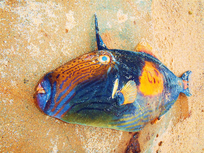 RUNNER-UP: This triggerfish at Bellambi was quite fresh and colourful. As my friend Anna said, it's like the whole cosmos has been painted on its skin. (Caitlin Woods)